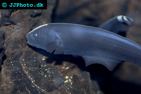 Black ghost knife fish
